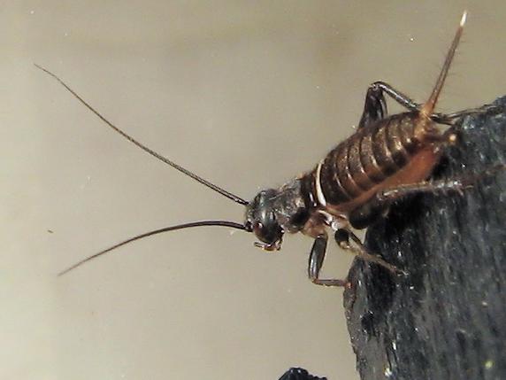 エンマコオロギの幼虫体長5mm