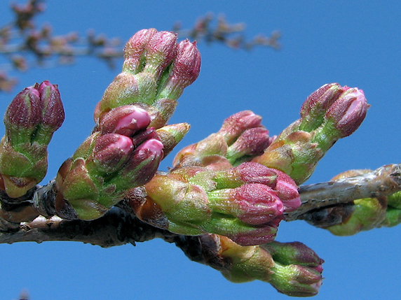 間もなく桜が開花