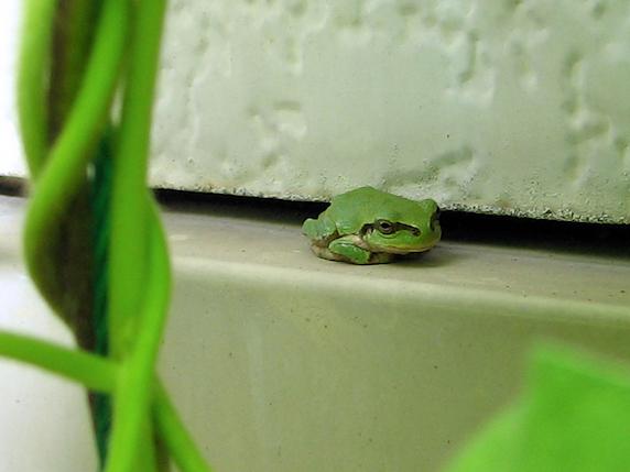 陽射しを避けるカエル