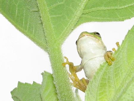 写真館-希望に満ちるカエル