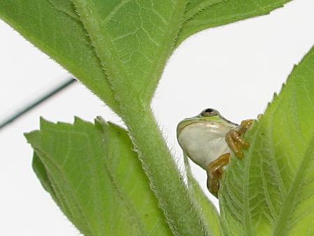 写真館-思いにふけるカエル