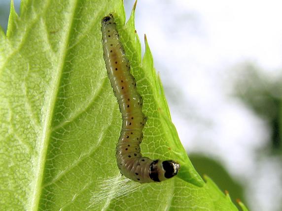 カバイロキバガの幼虫
