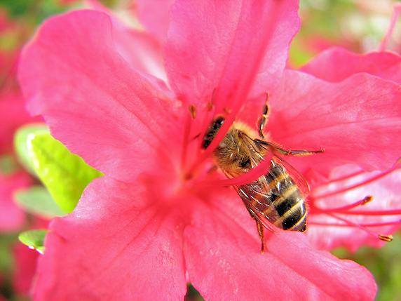 今年はミツバチをよく見ます