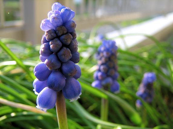 ムスカリ開花
