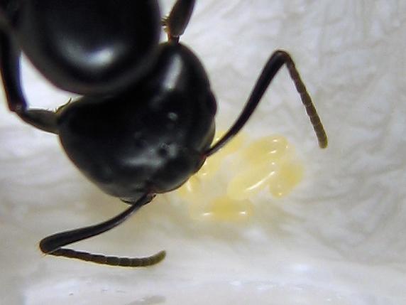 アリの卵の色に変化あり