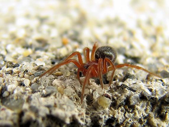 赤い姿のクサグモの幼体