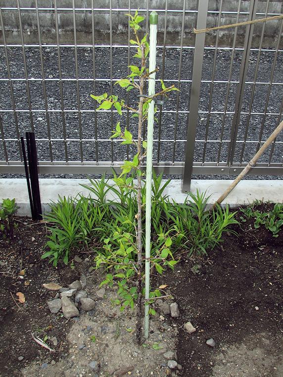 小梅の剪定と定植