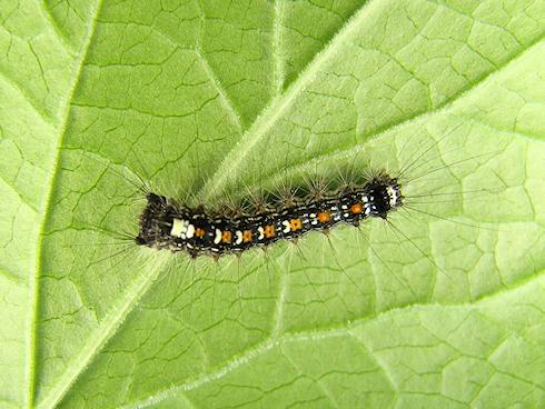 3齢直前のマイマイガの幼虫