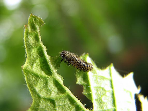 体長5mmのサンゴジュハムシの幼虫