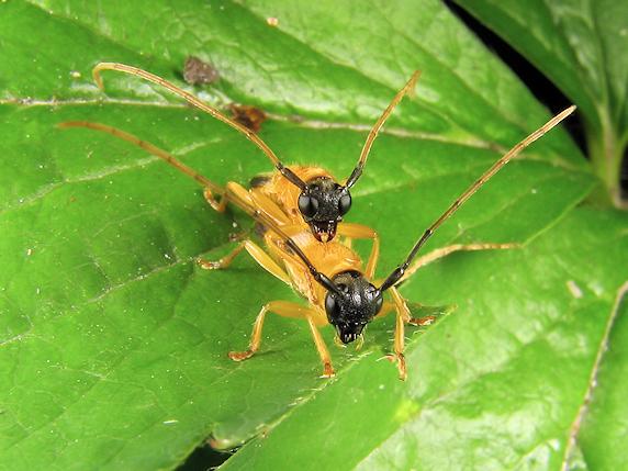 ヘリグロリンゴカミキリの交尾