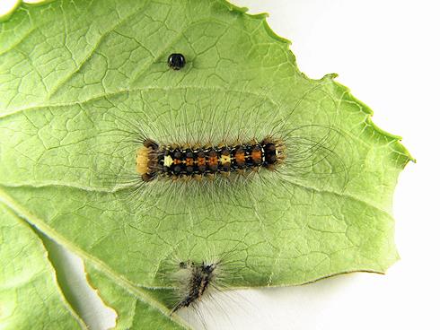 3齢に脱皮したマイマイガの幼虫