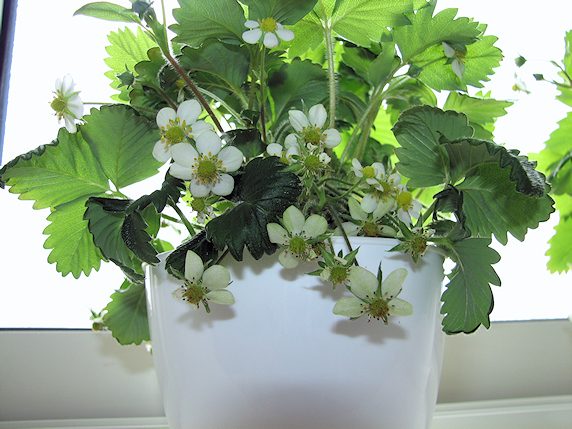 花咲きすぎのワイルドストロベリー