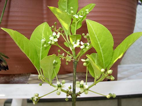 挿し木したマユミが開花