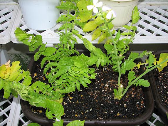 葉大根とサラダ菜のその後
