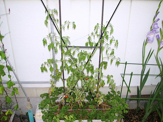 ミニトマト3個収穫