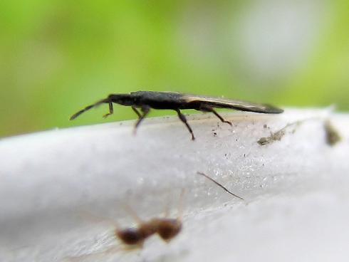 カメムシかサシガメの幼虫