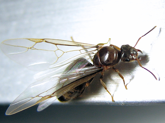 トビイロケアリの結婚飛行