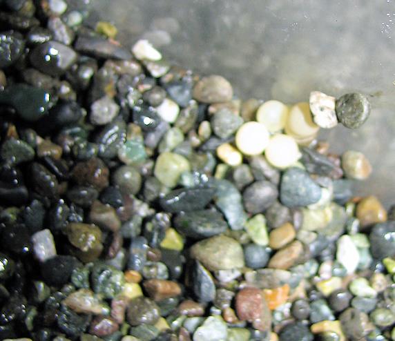 カタツムリがまた産卵