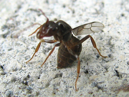 写真館-羽根を切り落とす結婚飛行後のアリ
