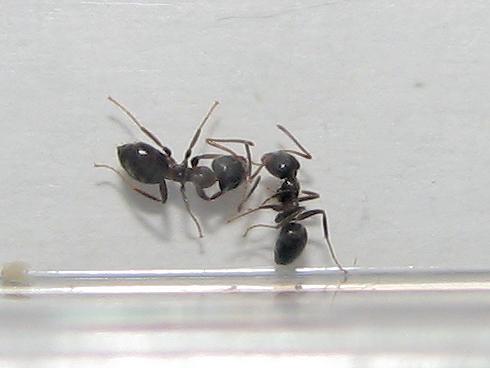 小さいアリが大量に家に浸入