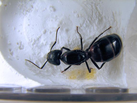 ムネアカオオアリ幼虫誕生