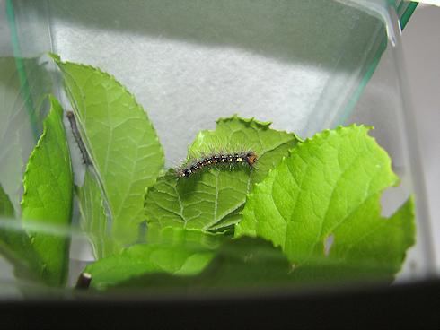 マイマイガ幼虫の飼育開始