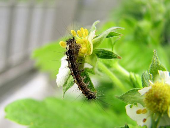2齢幼虫に成長したマイマイガ