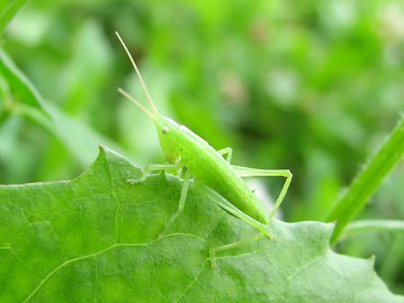 写真館-クサキリの幼虫