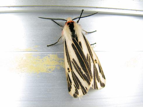 きれいな蛾、クロフシロヒトリ