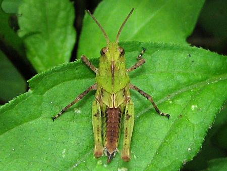 写真館-トノサマバッタの幼虫