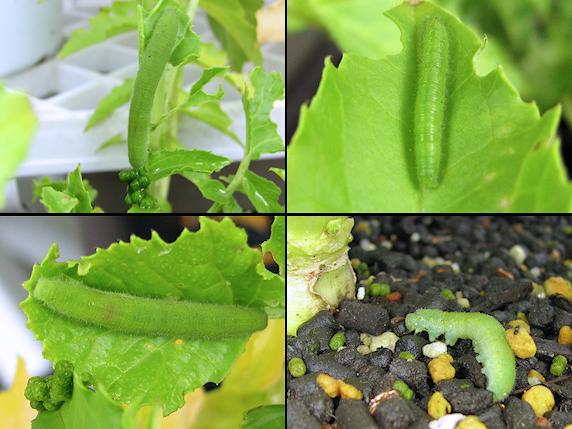 葉大根に4匹の幼虫発見