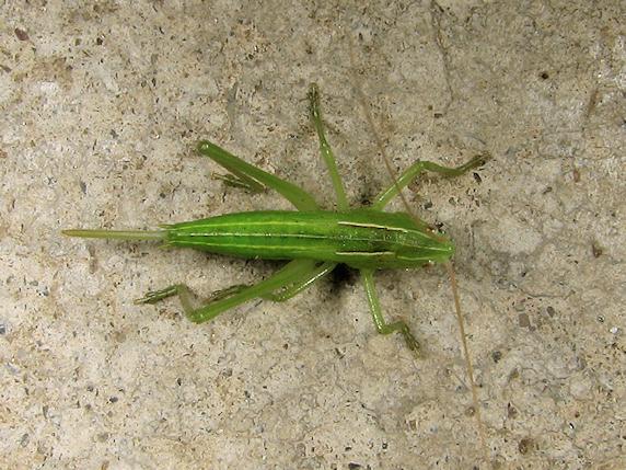 クサキリの幼虫登場
