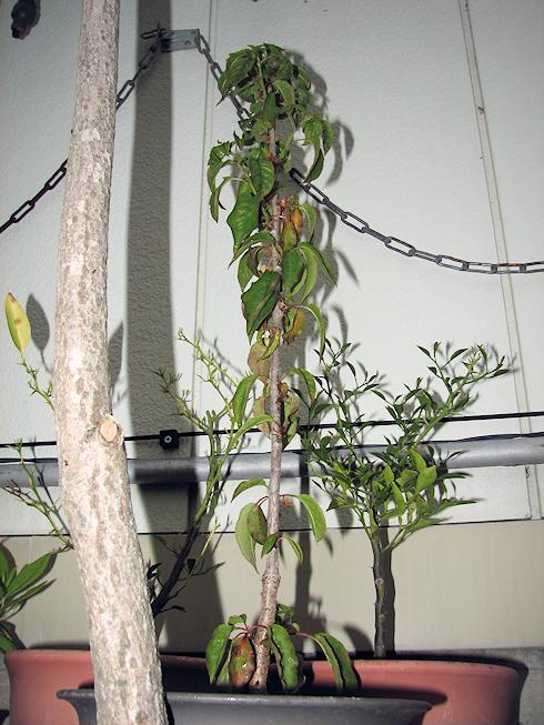 樹高60cmのサクランボ