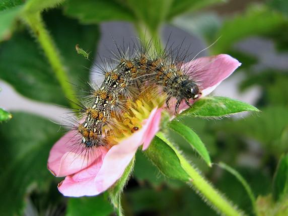 クワゴマダラヒトリの幼虫参上