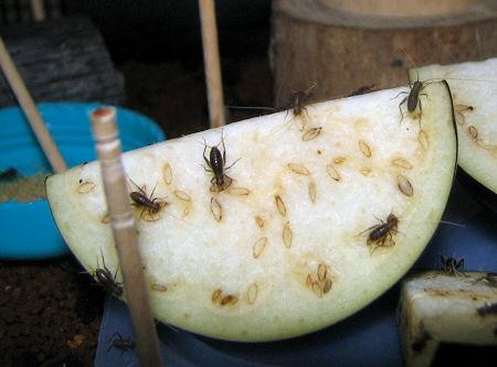 ナスを食べるスズムシの幼虫