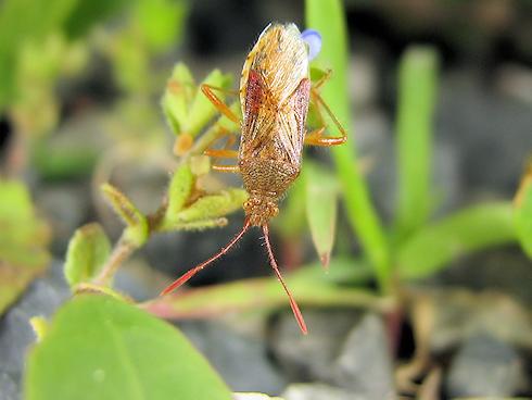 イネの害虫アカヒメヘリカメムシ