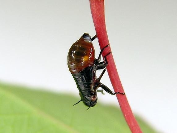泡の中のアワフキムシの幼虫