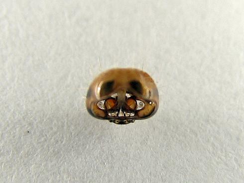 4齢に脱皮したマイマイガの幼虫