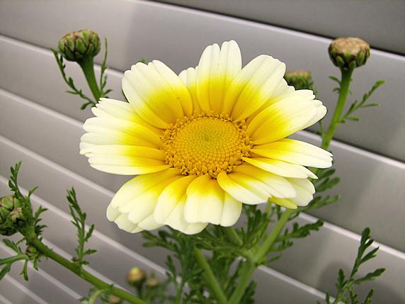 シュンギク開花