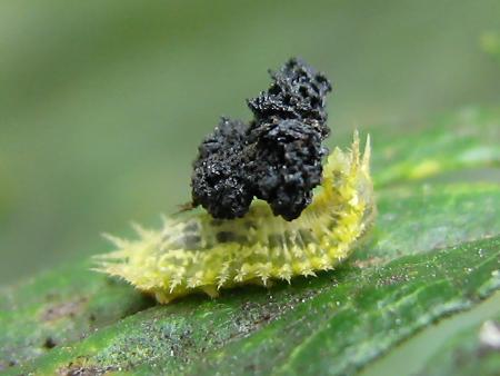写真館-ふんを背負うヒメジンガサハムシの幼虫