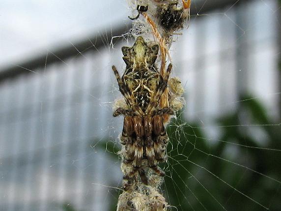 巣にゴミをつけるゴミグモ