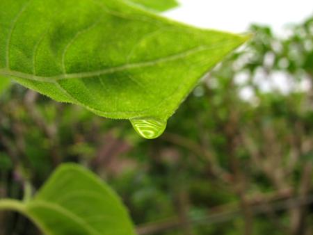 写真館-ツマグロオオヨコバイの幼虫