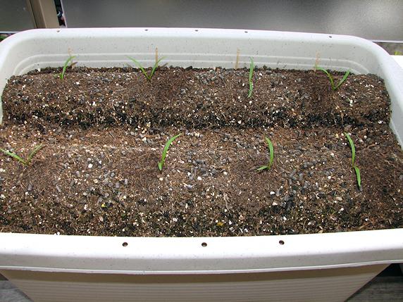 ベランダ菜園すくすく生長 その2