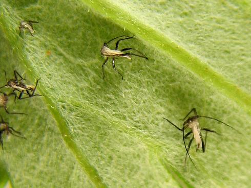生長するナミテントウの幼虫