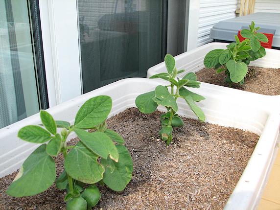 ベランダ菜園すくすく生長 その1