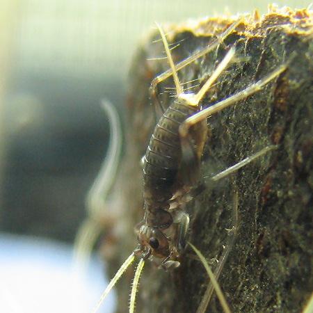 それらしい形になってきたスズムシの幼虫