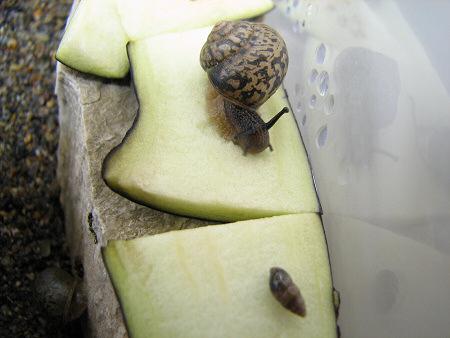 別の種類のカタツムリ