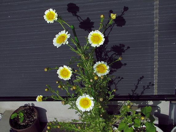 シュンギクも観賞花レベル