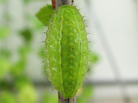 ミドリシジミの幼虫か?