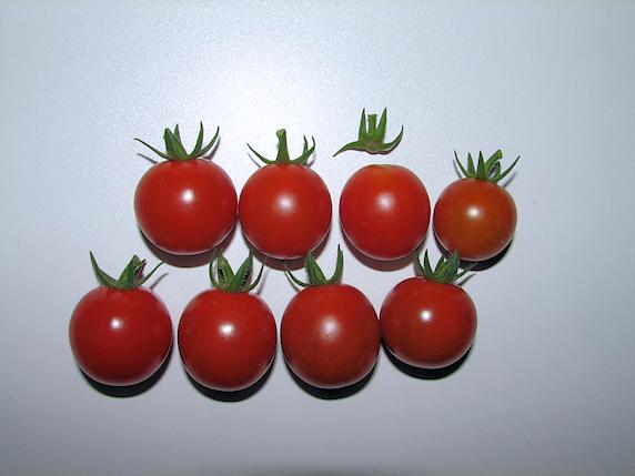 ミニトマト8個収穫
